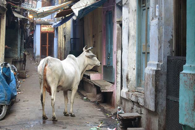 Streets-of-India-cow
