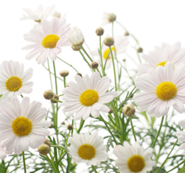 5 Herbs to Help You Beat the Summer Heat -chamomile